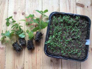 Kas külvata ürte seemnetest või kasvatada noortaimedest?