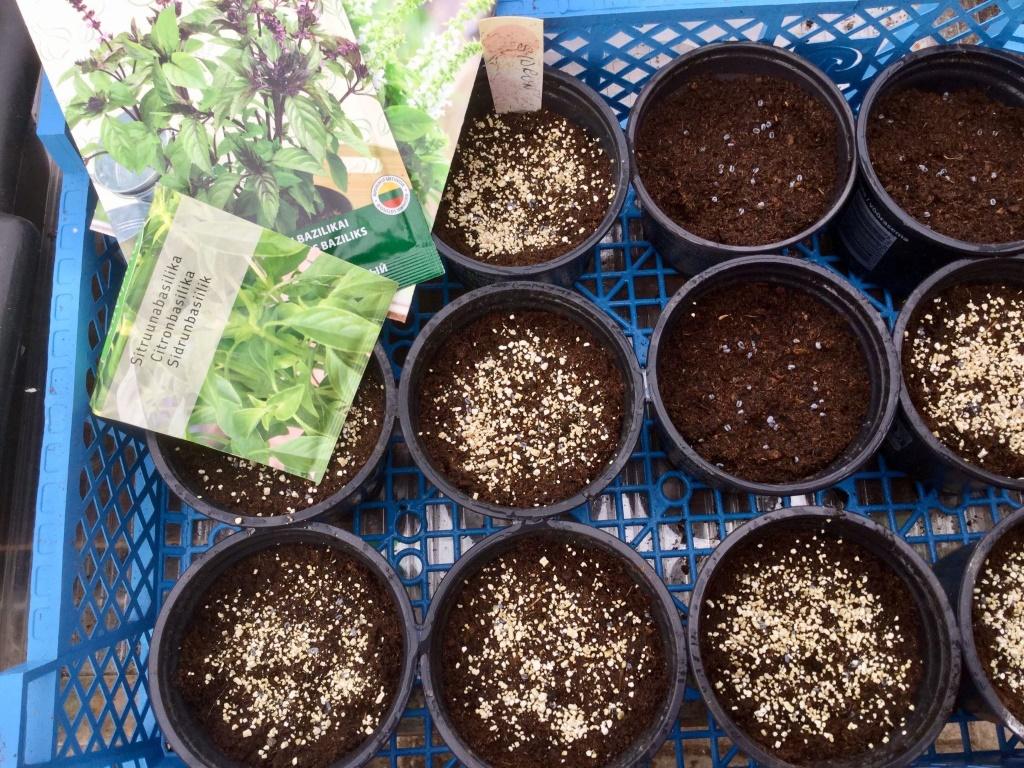 Kuidas külvata maitse- ja ravimtaimede seemneid?